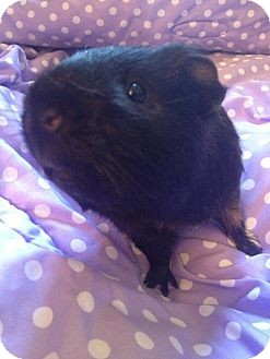 Guinea Pig for adoption in Pittsburgh, Pennsylvania - Rusty & Gusty