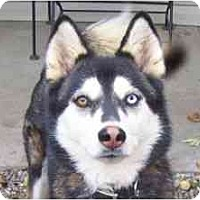 Adopt A Pet :: Sierra is Sweet! - Belleville, MI