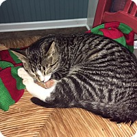 Domestic Shorthair Cat for adoption in Nashville, Tennessee - George M