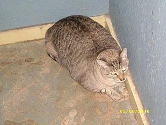 Siamese Cat for adoption in Live Oak, Florida - Jack