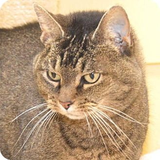 Domestic Shorthair Cat for adoption in Eastsound, Washington - Freda