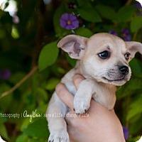 Adopt A Pet :: Zinc - Tempe, AZ