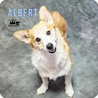 Adopt A Pet :: Albert - Adoption Pending - Lee's Summit, MO