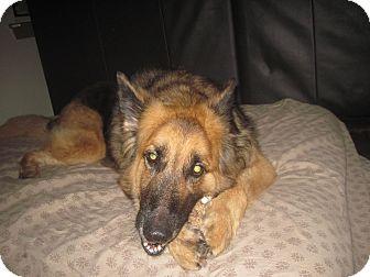 German Shepherd Dog Dog for adoption in Green Cove Springs, Florida - Benny