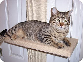 Domestic Shorthair Cat for adoption in College Station, Texas - Elmo