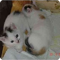 Adopt A Pet :: Adorable Kittens New - Fort Lauderdale, FL