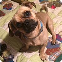 Adopt A Pet :: Freddie - Somers, CT