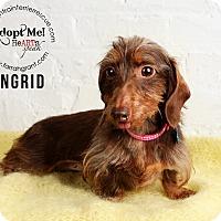 Adopt A Pet :: Ingrid-pending adoption - Omaha, NE