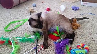 Siamese Cat for adoption in Austin, Texas - Zira II