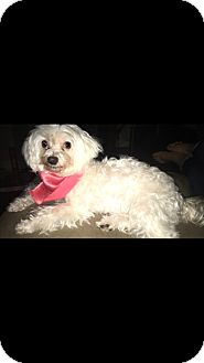Maltese Dog for adoption in Baton Rouge, Louisiana - Arabella