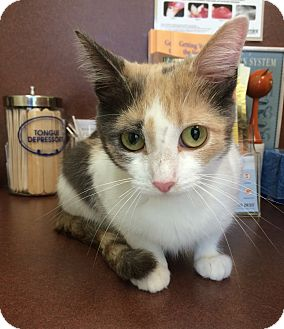 Calico Cat for adoption in Villa Hills, Kentucky - Lilly