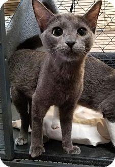 Domestic Shorthair Kitten for adoption in Fallbrook, California - Ju Ju B