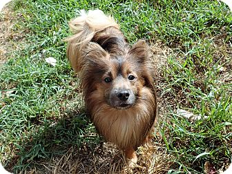 Pomeranian Mix Dog for adoption in North Wilkesboro, North Carolina - Ceasar