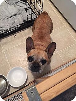 French Bulldog Dog for adoption in Columbus, Ohio - Tuna