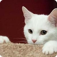 Adopt A Pet :: Flo - Merrifield, VA