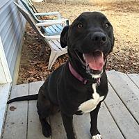 Adopt A Pet :: Phoebe - Stevensville, MD