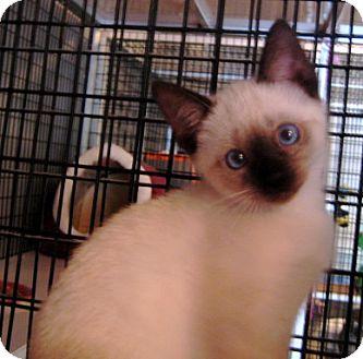 Siamese Kitten for adoption in Deerfield Beach, Florida - Flip Flop