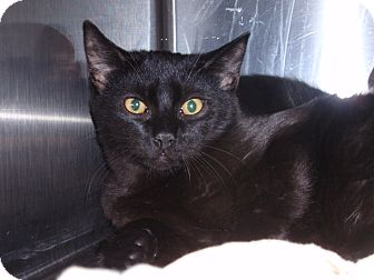 Domestic Shorthair Kitten for adoption in East Brunswick, New Jersey - Bear