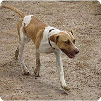 German Shorthaired Pointer Mix Dog for adoption in Las Cruces, New Mexico - Diego