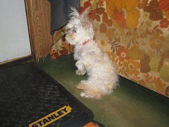 Chihuahua Mix Dog for adoption in Dodge City, Kansas - Bugle Boy aka Boo