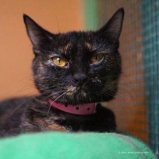 Domestic Shorthair Cat for adoption in Tucson, Arizona - Jem
