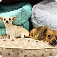 Pomeranian/Chihuahua Mix Dog for adoption in Los Banos, California - Peanut and Popcorn