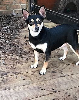 Chihuahua Mix Dog for adoption in Texarkana, Texas - Sassy