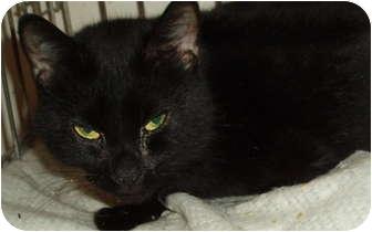 Domestic Shorthair Kitten for adoption in Westfield, Massachusetts - Peanut