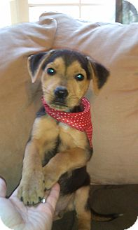 Beagle Mix Puppy for adoption in Newark, Delaware - Austin/Kebab