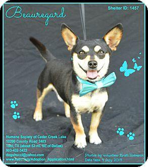 Chihuahua Mix Dog for adoption in Plano, Texas - Beauregard