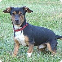 Adopt A Pet :: Woody - Mocksville, NC