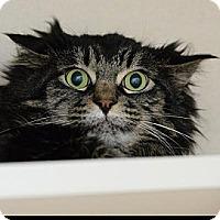 Domestic Longhair Cat for adoption in Denver, Colorado - Gidget Girl