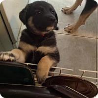 Adopt A Pet :: Saoirse - Scottsdale, AZ