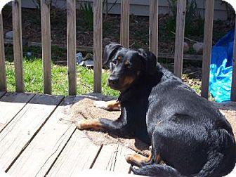 Border Collie/Rottweiler Mix Dog for adoption in West Allis, Wisconsin - Della