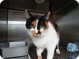 Calico Cat for adoption in Elyria, Ohio - Miss Cassie