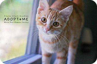 Domestic Shorthair Cat for adoption in Edwardsville, Illinois - Turnip
