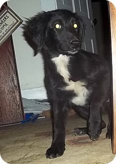 Border Collie/Setter (Unknown Type) Mix Puppy for adoption in Plainfield, Connecticut - Janie