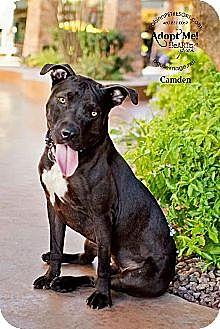 Pit Bull Terrier/Labrador Retriever Mix Dog for adoption in Chandler, Arizona - CAMDEN