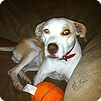 Labrador Retriever/Terrier (Unknown Type, Medium) Mix Dog for adoption in Baton Rouge, Louisiana - Holly