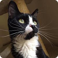 Domestic Shorthair Cat for adoption in Ellicott City, Maryland - .Miriam