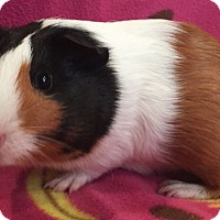Adopt A Pet :: Pidgey - Steger, IL