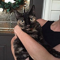 Adopt A Pet :: Tortie Kitty *Courtesy Listing* - Greensboro, NC