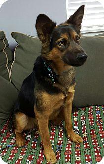 Shepherd (Unknown Type) Mix Dog for adoption in Hawk Point, Missouri - Pharaoh