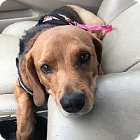 Beagle/Labrador Retriever Mix Dog for adoption in Beachwood, Ohio - Allie (sweet Tripod)