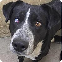 Adopt A Pet :: Kano - Springdale, AR