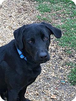 Labrador Retriever Dog for adoption in Folsom, Louisiana - Ruger