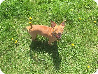 Chihuahua/Dachshund Mix Dog for adoption in Dayton, Ohio - Bugsy