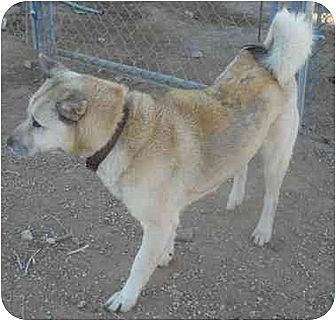 Jindo Dog for adoption in Apple Valley, California - Teddy-Got himself a foster home!