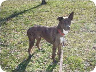 Australian Shepherd Mix Dog for adoption in Bedford, Virginia - Petie