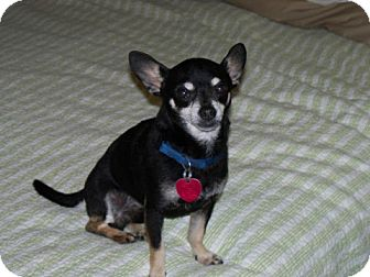 Chihuahua Mix Dog for adoption in Seattle, Washington - Lucky